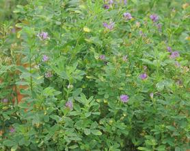 Alfalfa Raw Powder